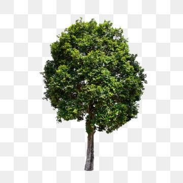 Tree Png Images Download 85000 Tree Png Resources With Transparent Background In 2021 Garden Clipart Watercolor Tree White Background