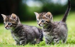 Two Little Gray Kitten In Green Grass Tabby Kitten Kittens