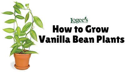How To Grow Vanilla Bean Plants At Home Vanilla Bean Plants For