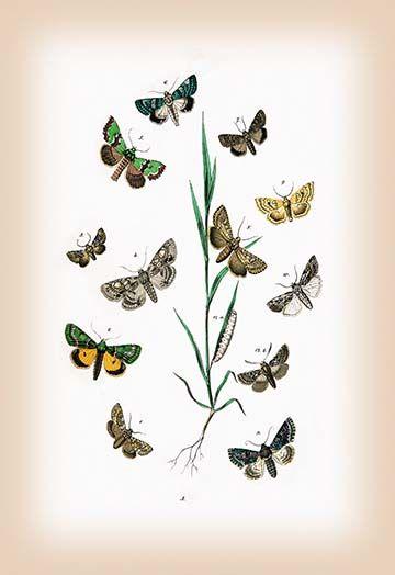 Moths Cleophana Anarrhini Et Al By William Forsell Kirby Art Print Kirby Art Art Prints Graphic Art