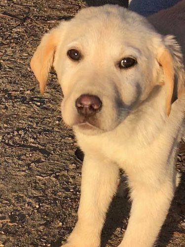 Adopt Ike 10 On Petfinder In 2020 Lab Mix Puppies Labrador Retriever Mix Yellow Labrador Retriever