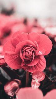 خلفيات ايفون ورد طبيعي Iphone Wallpapers Hd Download Flowers Flower Background Wallpaper Flower Wallpaper