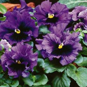 Frizzle Sizzle Blue Pansy Seeds Pansies Flower Seeds Annual Flowers