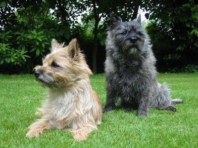 Cairn Terrier One Of The Best Dogs To Keep As Pet