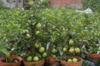 Best Fruits To Grow In Pots Gardening In 2020 Guava Plant Growing Strawberries In Containers Growing Strawberries