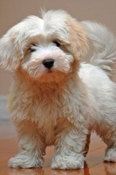 Coton Poo Puppies For Sale Doggy Puppies For Sale