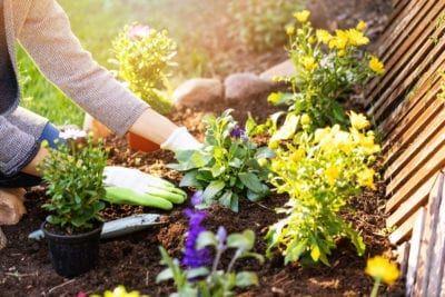 Flower Spacing Guide Learn About Spacing Flowering Plants In 2020 Lobelia Flowers Annual Plants Ivy Geraniums
