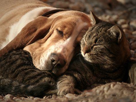Se battre comme des chiens et des chats? Fuhgeddaboudit! - #battre #chats #chiens #comme #fuhgeddaboudit -     L'idée que les animaux domestiques se battent comme, eh bien, les chats et les chiens, est populaire, mais elle n'est pas toujours fondée sur la réalité. Nous avons rencontré de nombreux animaux de compagnie amicaux inter-espèces, partageant un lit ou un canapé, se toilettant et jouant ensemble. Même lorsque les animaux ne sont pas les meilleurs bourgeons, ils cohabitent souvent confor