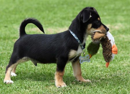 Image Result For Beagle Dachshund Mix With Images Dachshund
