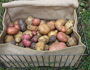5 Steps to Storing Potatoes for Winter | Storing potatoes Root cellar and March & 5 Steps to Storing Potatoes for Winter | Storing potatoes Root ...