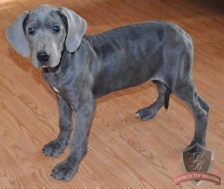 Look At Those Blue Eyes So Pretty I Think I Need A Great Dane
