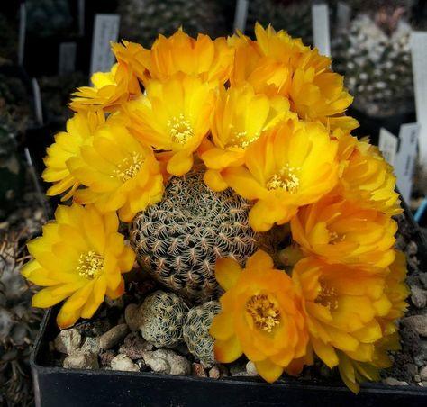 rare cactus rebutia sulcorebutia seed cacti 50 SEEDS Weingartia neocumingii