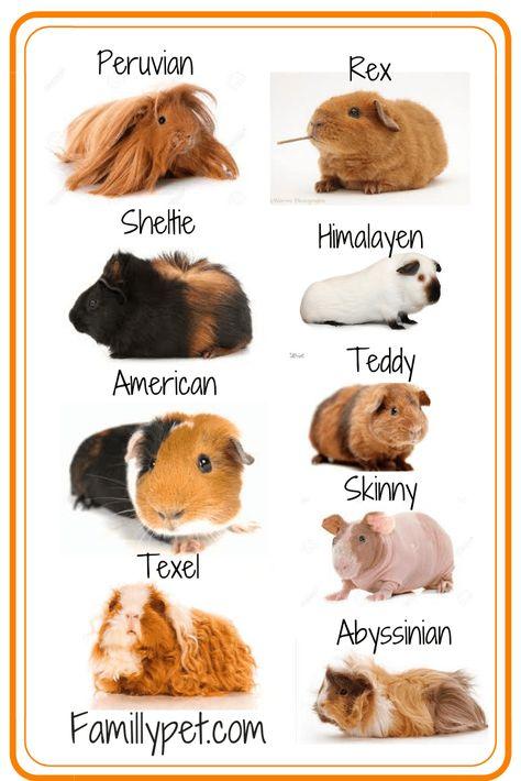 Having a Guinea pig as a pet [ the Guide ] - FamillyPet Guinea Pig Breeding, Pet Guinea Pigs, Guinea Pig Care, Guinea Pig Costumes, Guinea Pig Clothes, Diy Guinea Pig Cage, Diy Guinea Pig Toys, Guinea Pig Hutch, Koalas