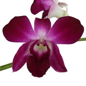 Violicious Dendrobium Orchid Flower Fiftyflowers Com Dendrobium Orchids Orchid Flower Orchids