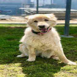 Bakersfield California Labrador Retriever Meet Lady A For