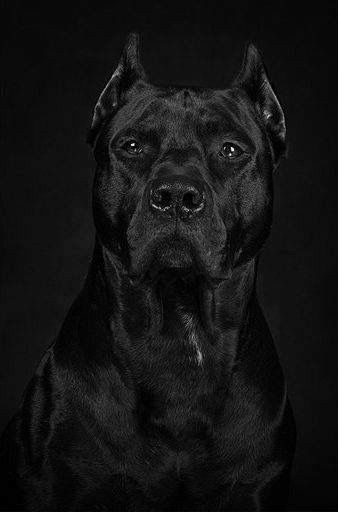 Pin By Cindy Titone On Pitts Mastiff Breeds Dogs Beautiful Dogs