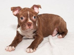 Male Boston Terrier Puppies For Sale Puppies Terrier