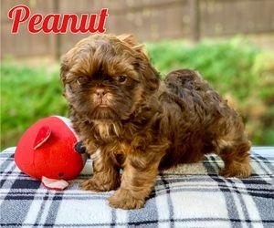 Shih Tzu Puppy For Sale In Buford Ga Usa