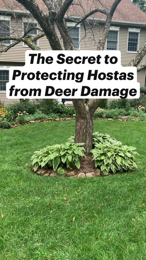 The Secret to Protecting Hostas From Deer Damage