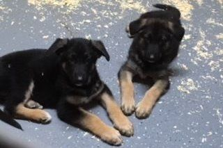 Linda Ferguson Has German Shepherd Dog Puppies For Sale In Kansasville Wi On Akc Puppyfinder German Shepherd Dogs Puppies For Sale Shepherd Puppies