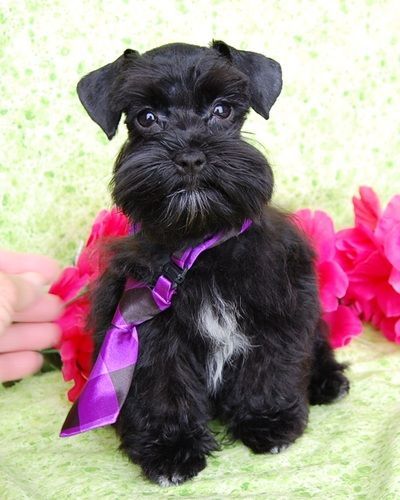 Miniature Toy Teacup Schnauzers For Sale Toy Teacup Miniature Schnauzer Puppies Miniature Schnauzer Puppies Schnauzer Puppy Miniature Schnauzer
