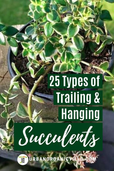 Best Hanging And Trailing Succulents To Grow In 2020 Hanging Succulents Succulents Air Plant Garden