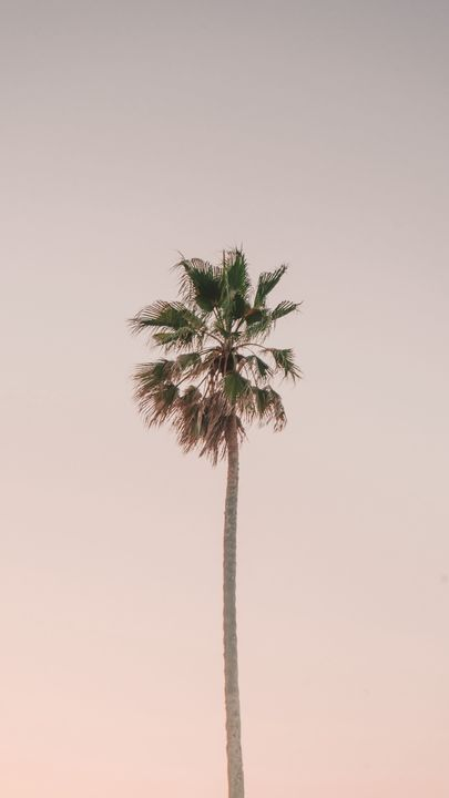 The latest iPhone11, iPhone11 Pro, iPhone 11 Pro Max mobile phone HD wallpapers free download, palm tree, tree, minimalism, sky - Free Wallpaper | Download Free Wallpapers