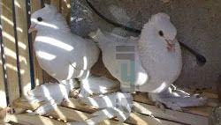 المواصفات القياسيه للحمام الشقلباظ Doves Pigeon Animals
