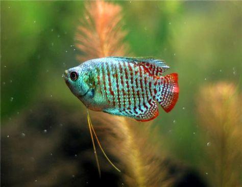 Turquoise Dwarf Gourami Fresh Water Fish Tank Pet Fish Tropical Fish