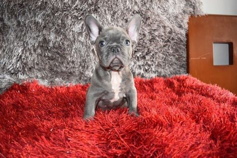 French Bulldog Puppy For Sale In Richmond Hill Ny Adn 33227 On