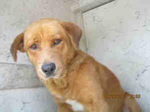 Boulder Is An Adoptable Golden Retriever Dog In San Antonio Tx