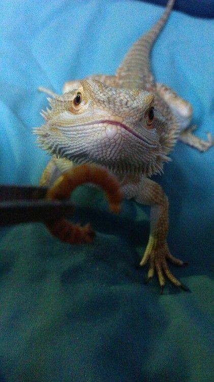 Bearded Dragon Http Www Amazon Co Uk Dp B01brj3p2m