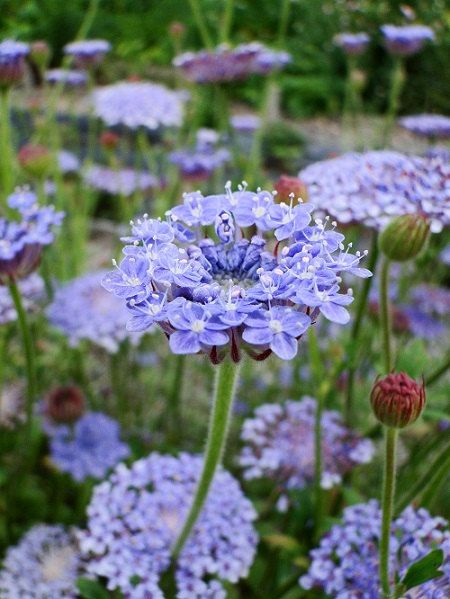 Blue Lace Didiscus Caeruleus Flower Seeds Annual 50 Flower Seeds Plants Planting Flowers