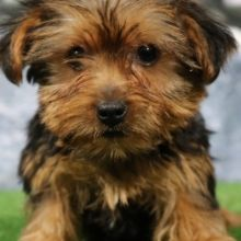 Yorkshire Terrier Puppies For Sale Puppyspot Yorkshireterrier
