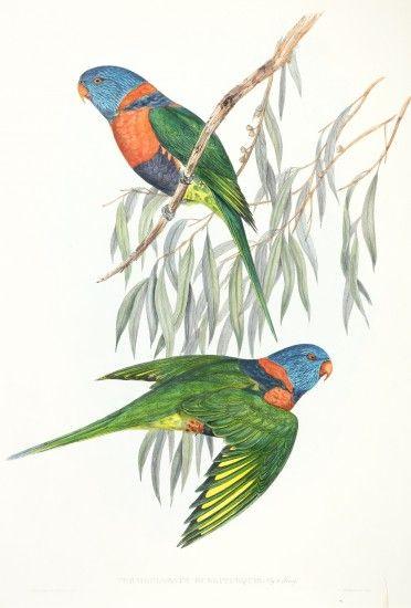 Trichoglossus Rubritorquis Red Collared Lorikeet In 2020 Birds