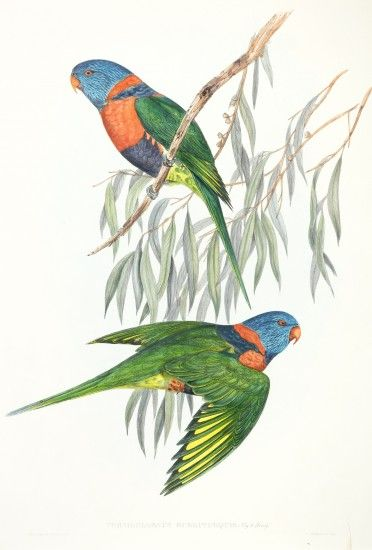 Trichoglossus Rubritorquis Red Collared Lorikeet In 2020 Birds