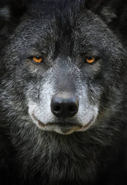 Black Wolf Portrait stock photo