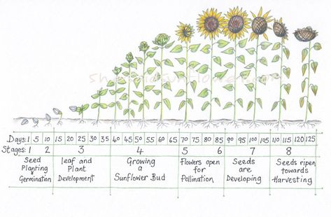Sunflower Growth Timeline and Life Cycle - 8 Stages (With Pictures) Growing Sunflowers From Seed, Planting Sunflowers, Growing Flowers, How To Plant Sunflowers, Growing Sunflowers Outdoors, Sun Flowers, Sunflower Life Cycle, Giant Sunflower, Sunflower Garden
