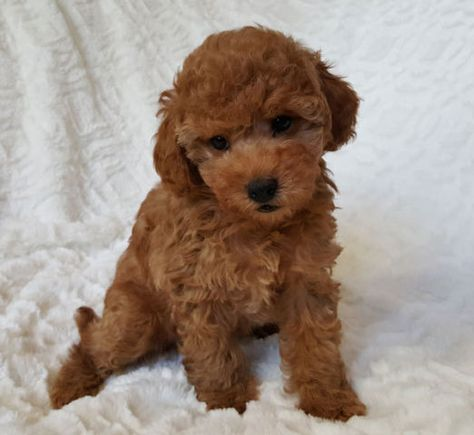 Beautiful Tcup Tiny Toy Toy Poodle Puppies Dogs Puppies For