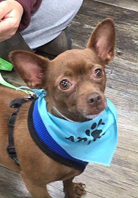 Apollo Pine Meadow Ct Chihuahua Meet Apollo A Pet For Adoption Pet Adoption Chihuahua Pets
