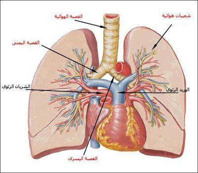 بحث حول الجهاز التنفسي أعضاء التنفس لدى الإنسان الموسوعة المدرسية Written On The Body Human Body Anatomy Body Anatomy