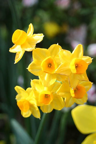 A Guide To Growing Daffodils Daffodil Gardening Daffodils Growing Tulips