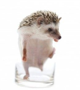 Unusual Pets That You Can Keep In Your Apartment Unusual Animals Hedgehog Pet Low Maintenance Pets