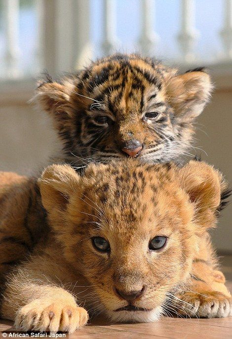 """A baby tiger and a lion cub, how great is our """"GOD""""! Tap the link for an awesome selection cat and kitten products for your feline companion! Cute Baby Animals, Animals And Pets, Funny Animals, Zoo Animals, Baby Wild Animals, Animal Babies, Small Animals, Big Cats, Cats And Kittens"""