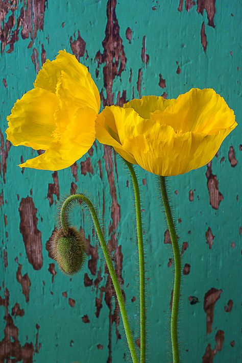 Iceland Poppies Against Green Wall Photograph by Garry Gay