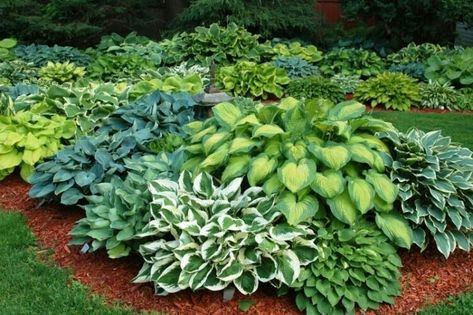 This is how a group of all hostas can be a spectacular sight in gardens! There is endless variety in their shape, form, color, designs, size, texture, etc. And they are very reliable, hardy perennials that can easily be divided to start new ones!