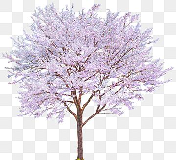 Pink Cherry Tree Cherry Decoration Pattern Tree Clipart Pink Cherry Tree Png Transparent Clipart Image And Psd File For Free Download In 2021 Pink Trees Blossom Trees Cherry Blossom Tree
