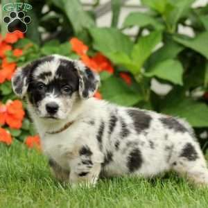 Jasmine Pembroke Welsh Corgi Puppy For Sale In Ohio Corgi Puppies For Sale Welsh Corgi Puppies Pembroke Welsh Corgi Puppies