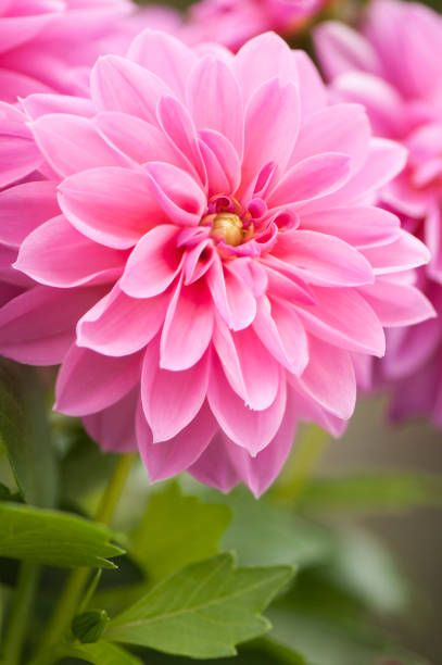 Dahlia Figaro Mix Beautiful Flowers Photos Flower Aesthetic Beautiful Pink Flowers