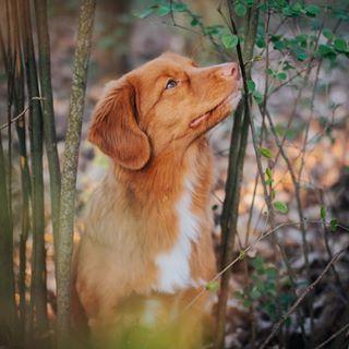 Nola Fuchshund Instagram Fotos Und Videos In 2020 Nova Scotia Duck Tolling Retriever Cute Animals Pets